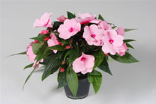 Curiosit del giorno 12 giugno 2012 for I fiori della balsamina
